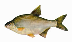 smallsilver-bream.jpg